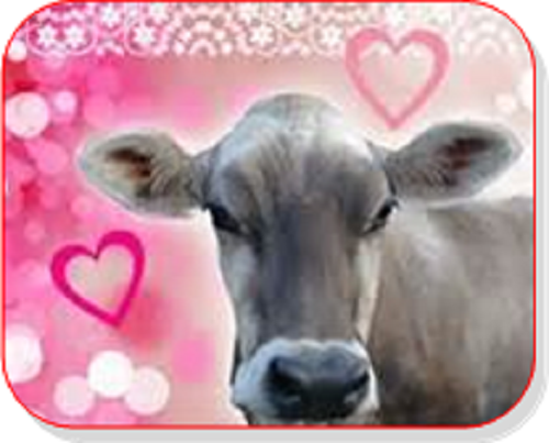 Brown Swiss valentine
